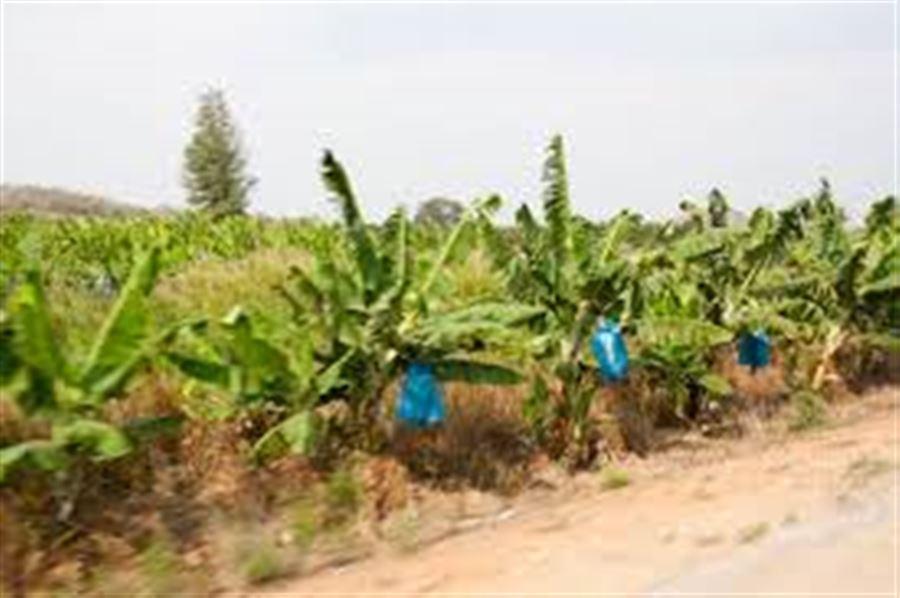 Банановые пальмы