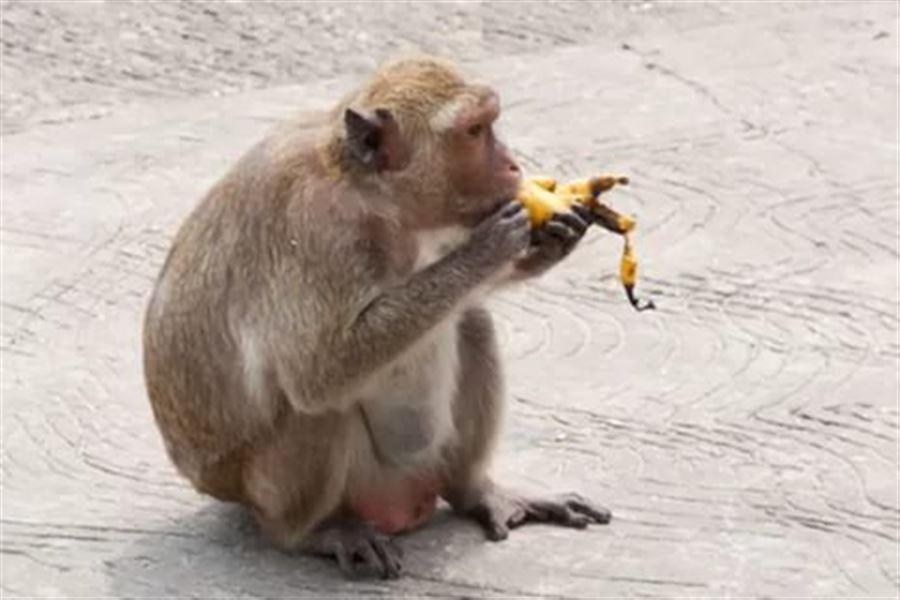 Обезьяна ест банан