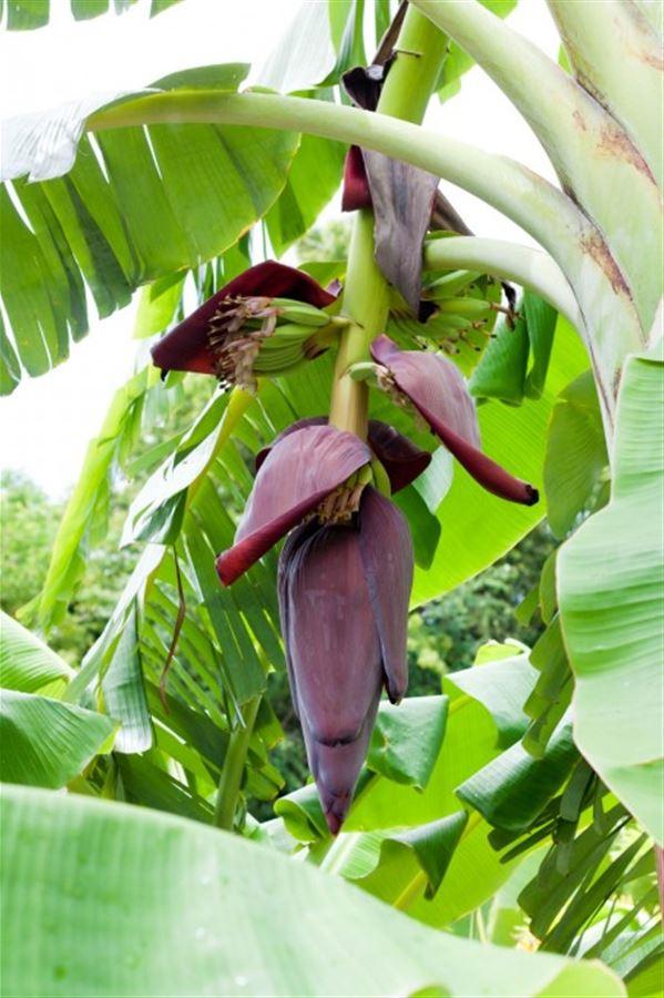 Цветок банановой пальмы
