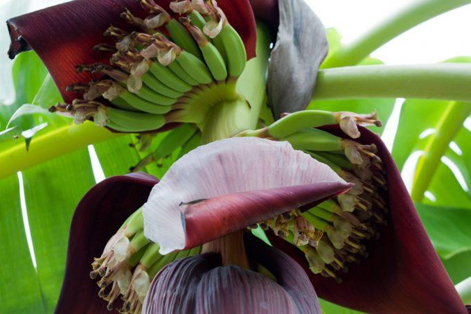 Гроздья Бананов на ветке
