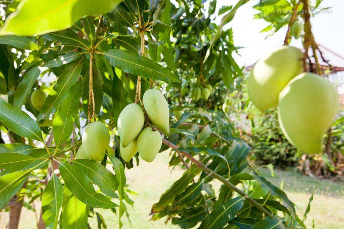 манго-дерево