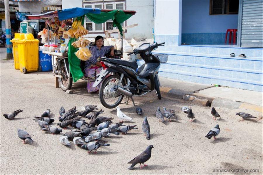 Бирманские голуби