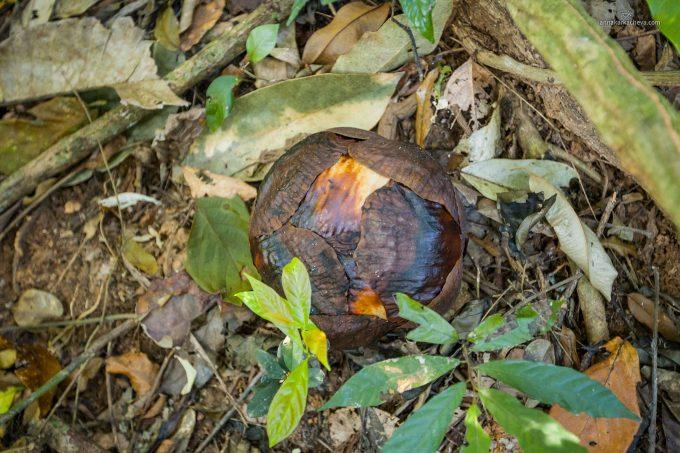 Rafflesia December