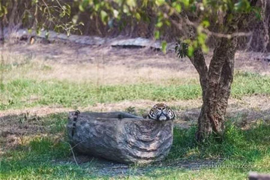 Тигр в корыте