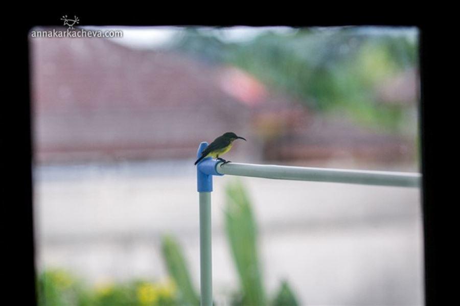 Тайская птичка