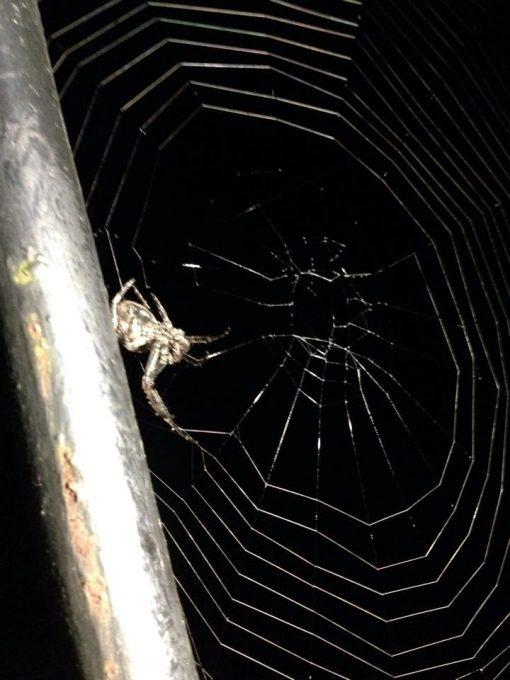 Английский паук