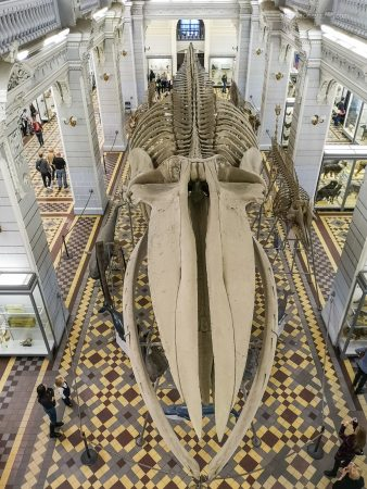 Синий кит в Зоологическом Музее Санкт-Петербург