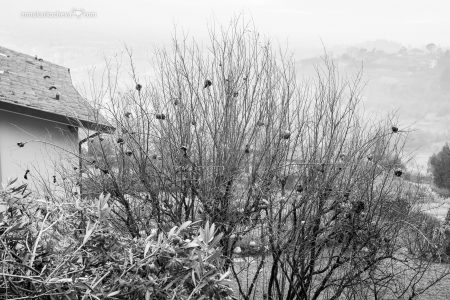 Гранаты на ветках в феврале в Бергамо