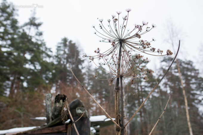 Фотопроект Ботаника и Борщевик